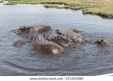Group of hippos bathing in river