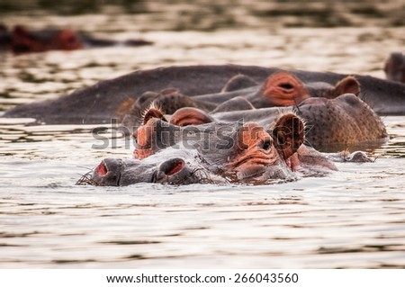 Group of hippos in the water in Kenya, Africa - stock photo
