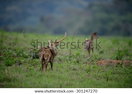group of Hog deers on meadow field, Thailand - stock photo