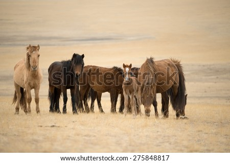 Group of Horses, in Mongolia