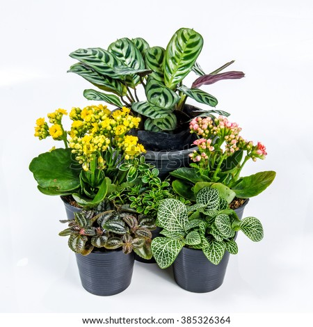 group of house plants on white background nerve plant kalanchoe calathea zebrine