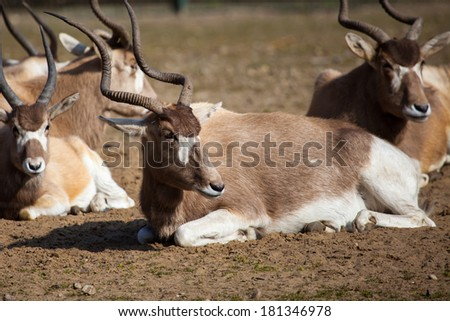Group of impala antelope sitting in dry grass. - stock photo