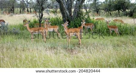 Group of Impala in the Shade, Serengeti National Park, Tanzania, Africa - stock photo
