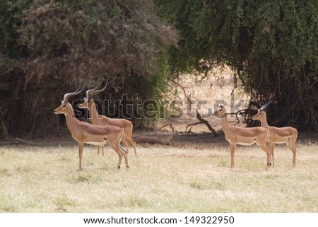 Group of impala looking at danger - stock photo