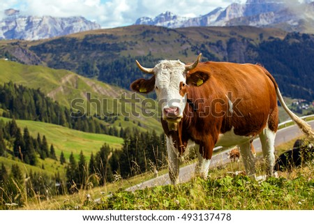 group of italian cows on a pasture. mountains Dolomites, Italy
