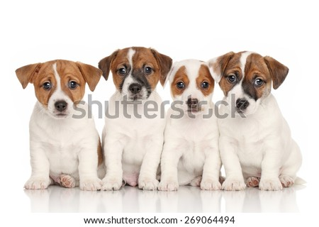 Group of Jack Russell terrier puppies in front of white background - stock photo