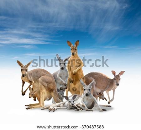 group of kangaroo isolated with blue sky - stock photo