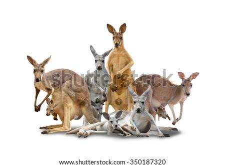 group of kangaroo isolated with shadow on white background - stock photo