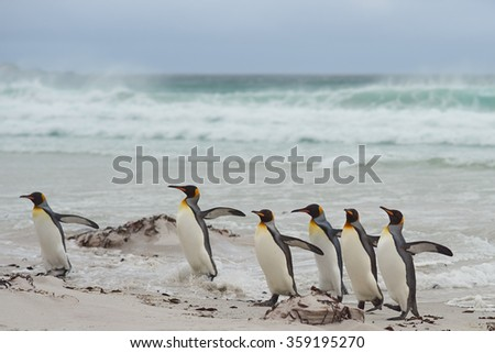 Group of King Penguins (Aptenodytes patagonicus) come ashore after a short dip in a stormy South Atlantic at Volunteer Point in the Falkland Islands.