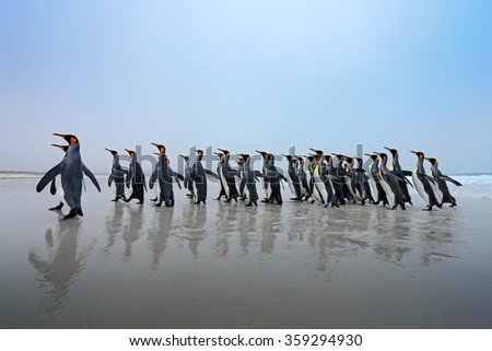 Group of king penguins coming back from sea tu beach with wave a blue sky, Falkland Islands - stock photo