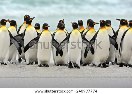 Group of king penguins coming back together from sea to beach with wave a blue sky, Volunteer Point, Falkland Islands - stock photo
