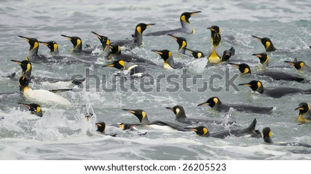 Group of king penguins swimming - stock photo