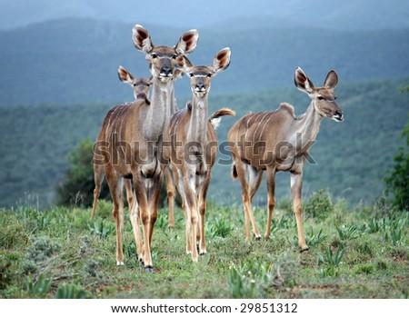 Group of kudus females - addo elephant np - stock photo