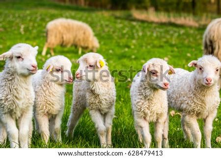 The Three Little Sheep: A Healing Story Redux