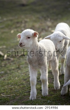 group of lambs on a field in spring