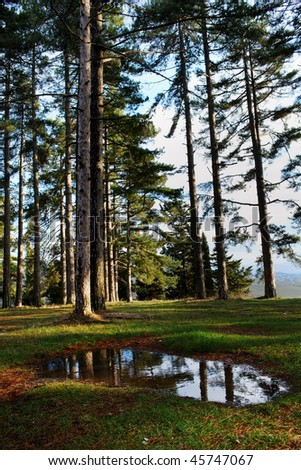 Group of large pine trees in the evening sunlight with large water puddle