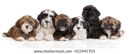 group of lhasa apso puppies lying down on white