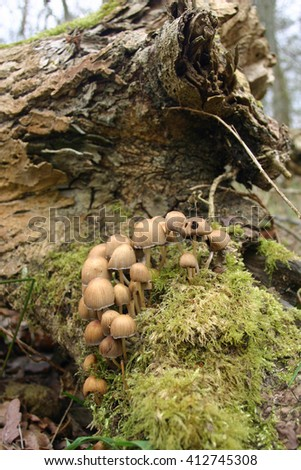 Group of light brown ink cap type (Coprinus) mushrooms growing on the base of a dead tree. Moss in the foreground and dead tree trunk in the background. - stock photo