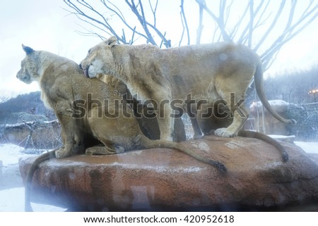 group of lion female on the rock  - stock photo