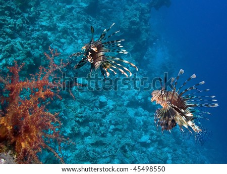 Group of Lionfish in blue water - stock photo