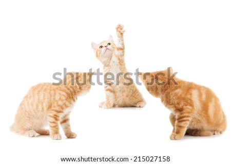 group of little Ginger british shorthair cats over white background - stock photo