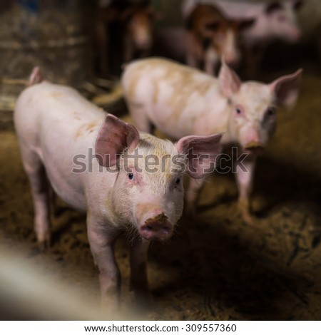 Group of little pigs looking at camera at pigsty. Pig farm. Shallow depth of field. - stock photo