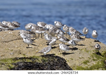 Group of Little stints at Quiberon in France - stock photo