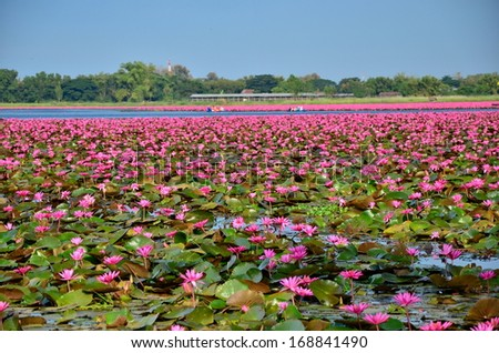 Group of Lotus Flowers in Lake