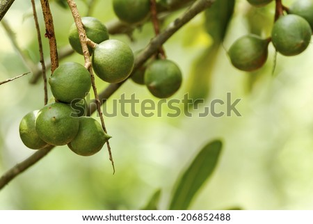 Group of macadamia nuts hanging on its tree in the plantation - stock photo