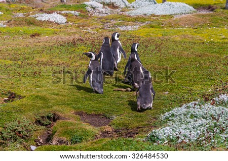 Group of Magellanic penguins at the Patagonian coast, Chile - stock photo