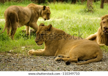 group of majestic african lion in nature - stock photo
