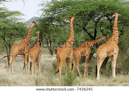 Group of 6 male Reticulated Giraffes in Buffalo Springs National Park Kenya Africa - stock photo