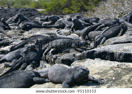 Group of many Galapagos Marine Iguanas (Amblyrhynchus cristatus) snoozing in the sun