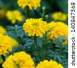 group of marigold flower - stock photo