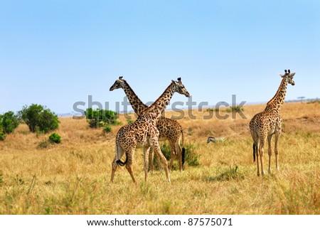 Group of masai race giraffes in the Masai Mara national park, Kenya - stock photo