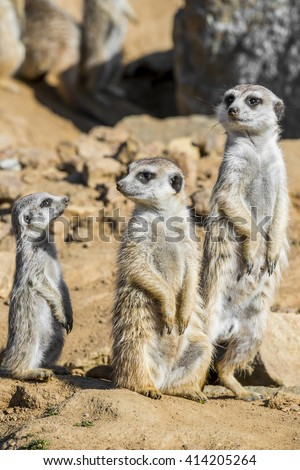 Group of meerkats - stock photo