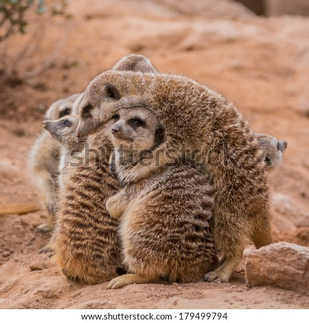 Group of meerkats hugging  - stock photo