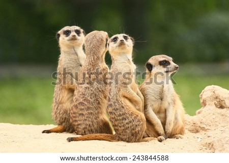 Group of  meerkats is sitting. Each of them is looking in another direction. - stock photo