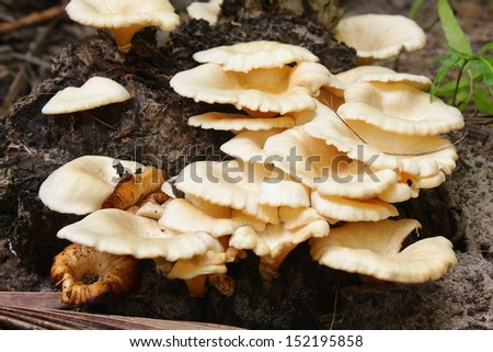 Group of mushrooms growing on the old wood  - stock photo