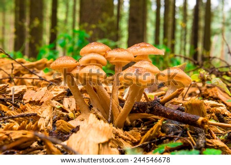 group of mushrooms honey agarics close-up in the woods - stock photo