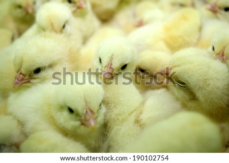 group of newly hatched chicks on a chicken farm - stock photo
