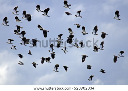 Group of Northern lapwing (Vanellus vanellus) in flight