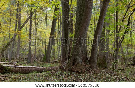 Group of old alder tree trunks in natural fresh stand of Bialowieza Forest - stock photo