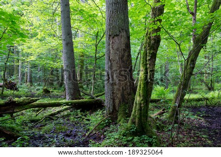 Group of old trees and old natural deciduous stand of Bialowieza Forest in background - stock photo