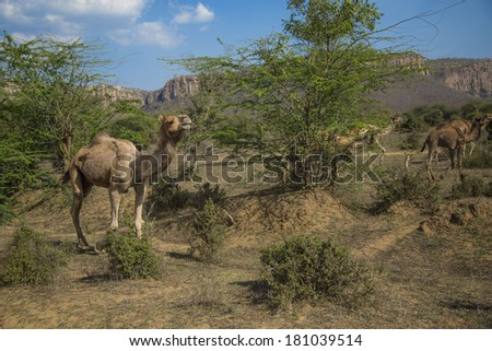 Group of one-humped Asian camels (dromedary) crossing the dry desert plains of Ranthambore National Park in Rajasthan, India, on a bright sunny day, with the background of ancient Aravalli mountains. - stock photo