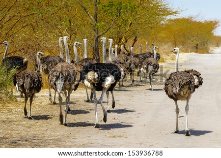 Group of ostrich running over the savanna - stock photo
