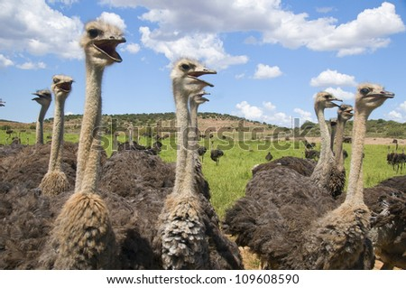 Group of Ostriches - stock photo