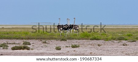 Group of Ostriches on African Plains