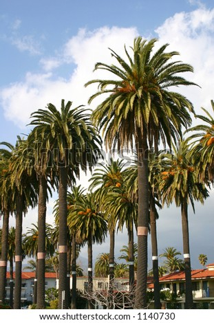 Group of Palm Trees in Southern California