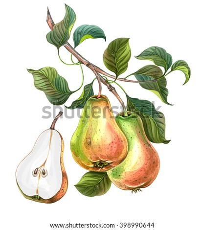Group of pears with leaves on a branch. Watercolor drawing - stock photo